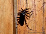 Ground Beetle, Fam. Carabidae