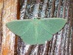 Emerald Moth ?Prasinocyma sp.