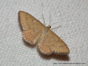 Scopula rubraria Family Geometridae Sub family sterrhinae