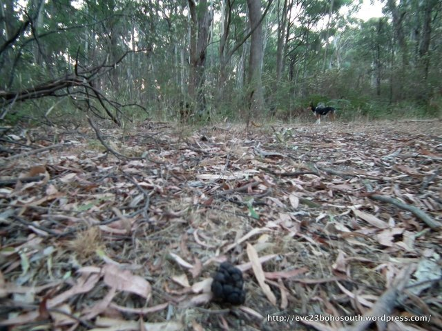 Deer droppings in the forest.
