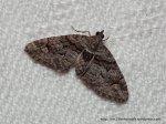 Phrissogonus laticostata, Apple Looper Moth