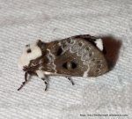 Fam. Lasiocampidae Genduara punctigera