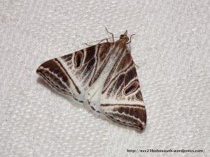 Pale Phrataria (Phrataria replicataria)