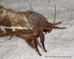 Swift Moth (Oxycanus dirempta)