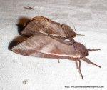 Swift Moth, Oxycanus dirempta, Fam. Hepialidae