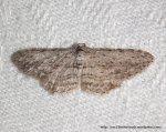 Phelotis cognata Fam Geometridae (ID P. Marriott).