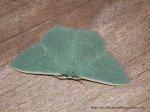 Prasinocyma semicrocea Fam Geometridae (ID P. Marriott)