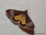 Family Crambinae SF Pyraustinae, Uresiphita ornithopteralis
