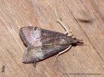 Uresiphita ornithopteralis (ID Peter Marriott)