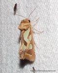 Cosmodes elegans, Green-blotched Moth.
