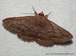 F. Noctuidae, SF. Catocalinae, Praxis porphytetica (ID Peter Marriott).