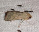 Helicoverpa punctigera (ID Peter Marriott)