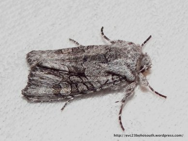Super-family Noctuoidea, Fam. Notodontidae?