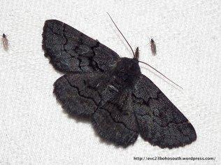 Female Black Geometrid, Melanodes anthracitaria.