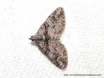 Phrissogonus laticostata