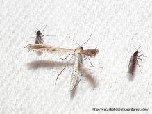 Plume Moth, ? Stangeia xerodes (Meyrick, 1886)