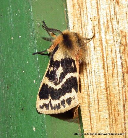 Crimson Tiger Moth, Spilosoma curvata.