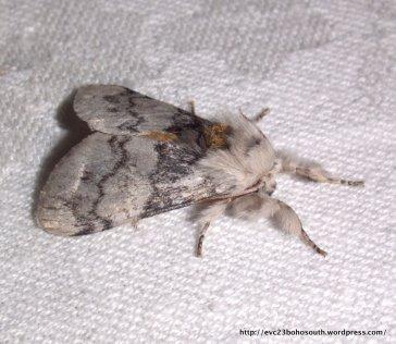 Iropoca Moth (Iropoca rotundata), Fam. Lymantridae.