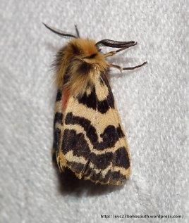 Crimson Tiger Moth (Spilosoma curvata)