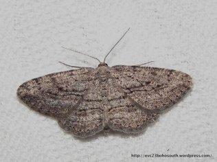 Zermizinga sinuata Geometridae, Ennominae (ID P. Marriott)