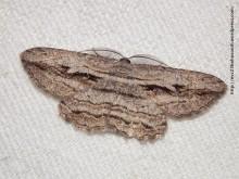 Scioglyptis loxographa