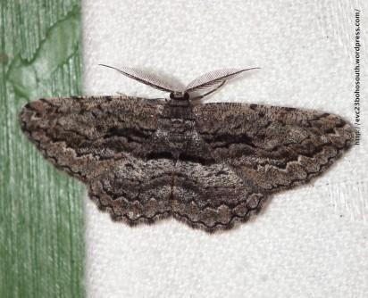 Scioglyptis canescaria Geometridae, Ennominae (ID P. Marriott)