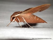 Coprosma Hawk Moth (Hippotion scrofa), brown morph.