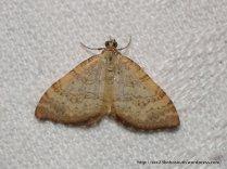 Chrysolarentia correlata (ID P. Marriott)