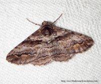 Gastrinodes bitaeniaria, Ennominae, Geometridae (ID P. Marriott)