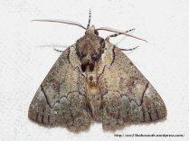 Heliomystis eléctrica Geometridae, Oenochrominae, Unusual colour (ID P. Marriott).