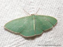 Double-fringed Emerald (Chlorocoma dichloraria)?