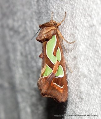 Green Blotched Moth, Cosmodes elegans.