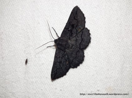 Female Black Geometrid (Melanodes anthricitaria).