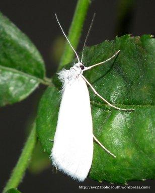 Tipanaea patulella Crambidae, Schoenobiinae