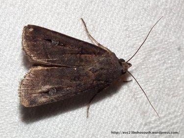 Bogong Moth, Agrotis infusa.