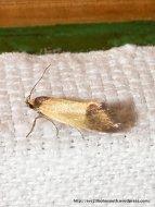 Family Oecophoridae, Oecophorinae sp.?