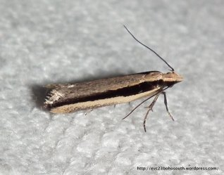 Macrenches clerica? Fam. Gelechiidae SF gelichiinae (ID S. Williams)