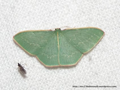 Chlorocoma dichloraria, Double-fringed Emerald