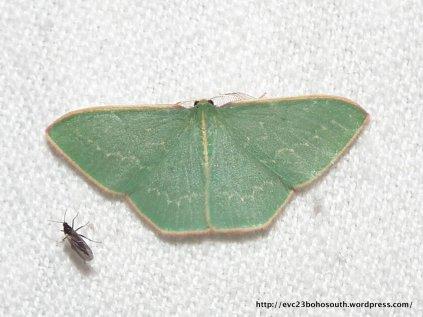 Chlorocoma dichloraria, Double-fringed Emerald