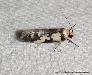 Philobota partitella? Family Oecophoridae.