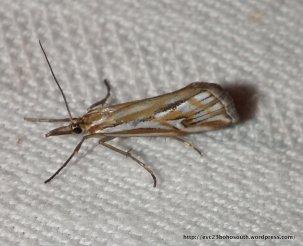 Hednota pleniferellus Family Crambidae Sub-family Crambinae (ID S. Williams)