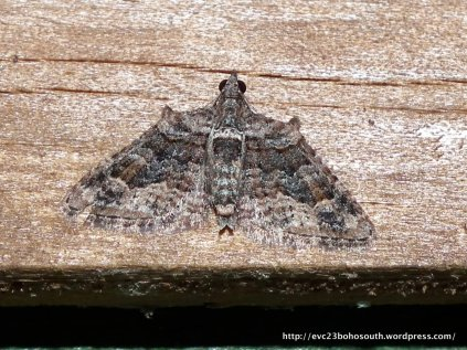 Phrissogonus laticostata, male