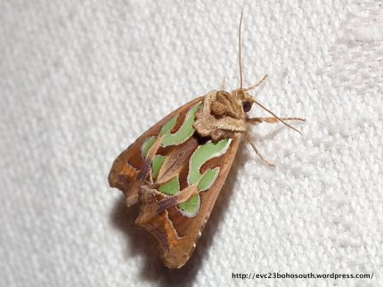 Green-blotched Moth