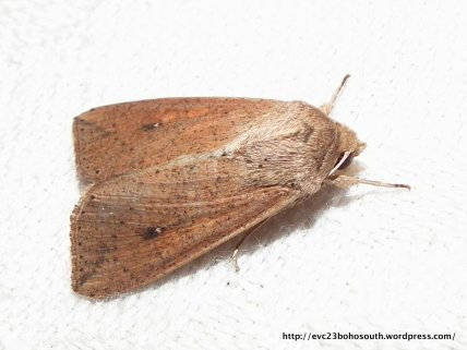 Mythimna convecta (Hadeninae, Noctuidae) (ID P. Marriott)