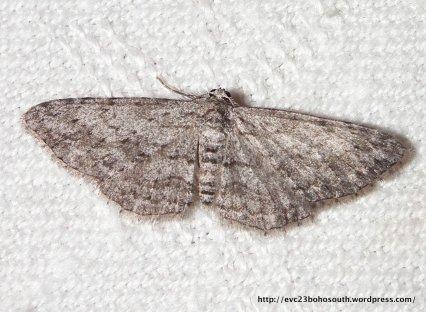 Phelotis cognata. (ID P. Marriott)