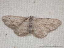 Phelotis cognata (ENNOMONAE, GEOMETRIDAE) (ID P. Marriott)