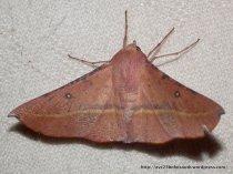 Hakea Wine Moth (Oenochroma vinaria)