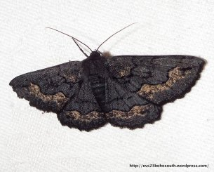 Male Black Geometrid, Melanodes anthracitaria