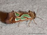 Green Blotched Moth (Cosmodes elegans)