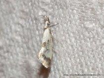 Thema stasiastica? Fam. Oecophoridae. (ID P. Marriott)